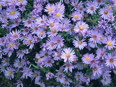 Aster dumosus 39 wood 39 s light blue 39 aster new york from for Perennial wood