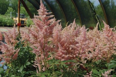 Astilbe X Japonica 39 Peach Blossom 39 False Spirea From Frank