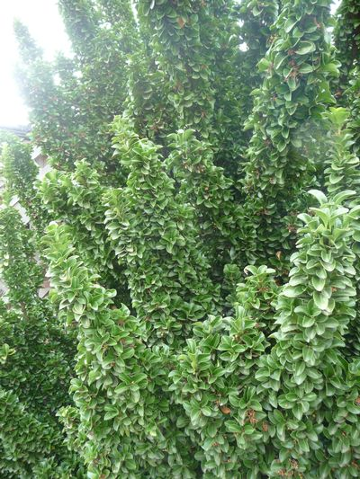 Euonymus Japonicus Green Spire Japanese Euonymus From