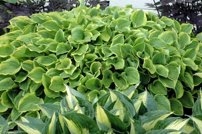 Hosta 39 Golden Tiara 39 Plantain Lily From Frank Otte Nursery