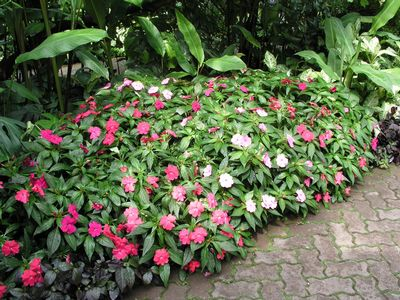 Impatiens Hawkeri New Guinea Impatiens Mixed Colors From