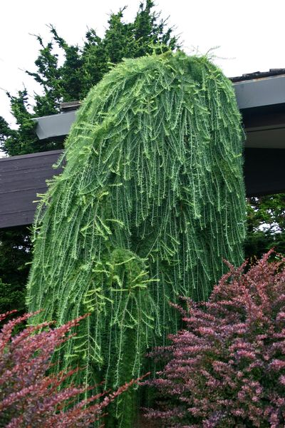Larex Decidua Pendula Weeping European Larch From Frank