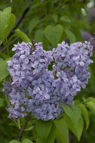 Syringa Vulgaris Monroe Blue Skies Lilac From Frank Otte