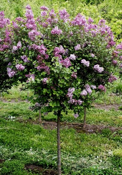 syringa meyeri 39 palibin 39 dwarf korean lilac from frank. Black Bedroom Furniture Sets. Home Design Ideas