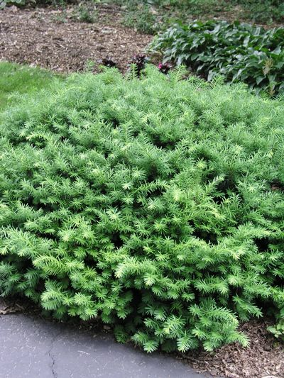 Taxus X Media Densiformis Yew From Frank Otte Nursery
