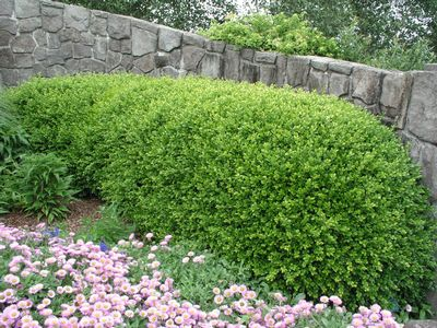 Buxus Microphylla Japonica Green Beauty Boxwood From