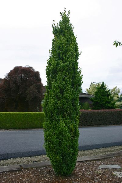 Buxus Sempervirens Graham Blandy Boxwood From Frank Otte