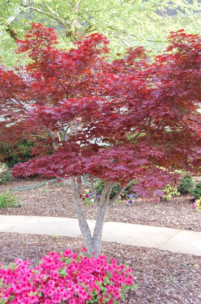 Acer Palmatum Bloodgood Japanese Red Maple From Frank