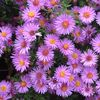 Aster novi-belgii 'Wood's Purple'