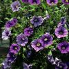 Calibrachoa x hybrida 'Lirica Showers Blue'