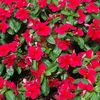 Catharanthus roseus 'Pacifica Dark Red'