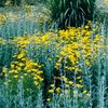 Coreopsis verticillata 'Golden Showers'