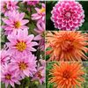 Dahlia multiple varieties
