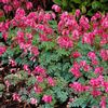 Dicentra spectabilis 'King of Hearts'