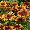 Rudbeckia hirta 'Autumn Colors'