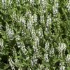 Salvia nemerosa 'Snow Hill'