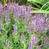 Salvia sylvestris 'Blue Hill'